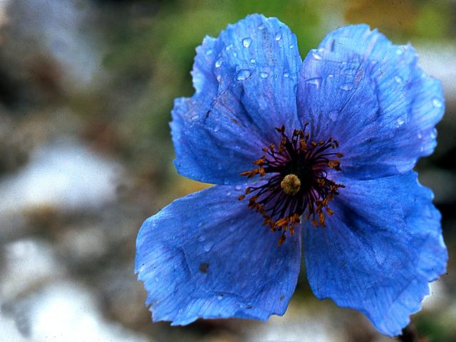Himalayan Blue Poppy Zanskar India