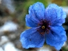 Himalayan Blue Poppy Zanskar India